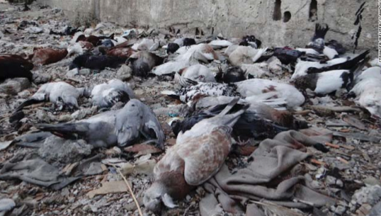 Dead Pigeons Photographed after the Nerve Attack_from CNN